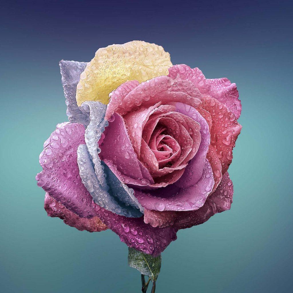 leeron-rose245x245smaller